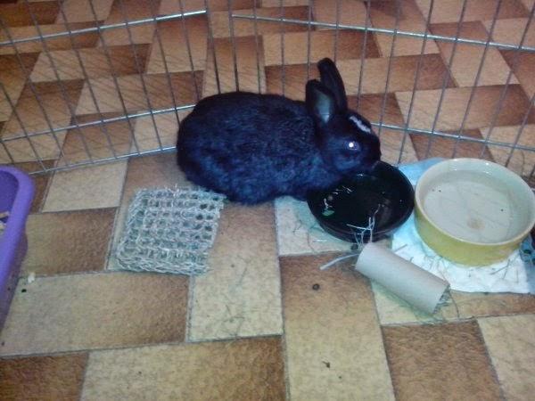 Pepper, lapin noir et blanc-[adopté] Pepper6-0ba6e