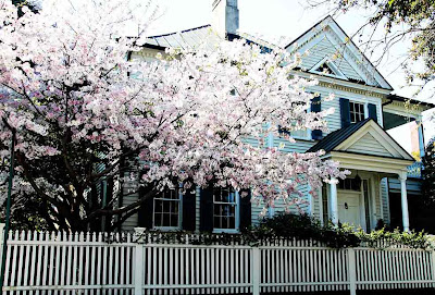 Cherry Blossoms in Charleston by SweeterThanSweets