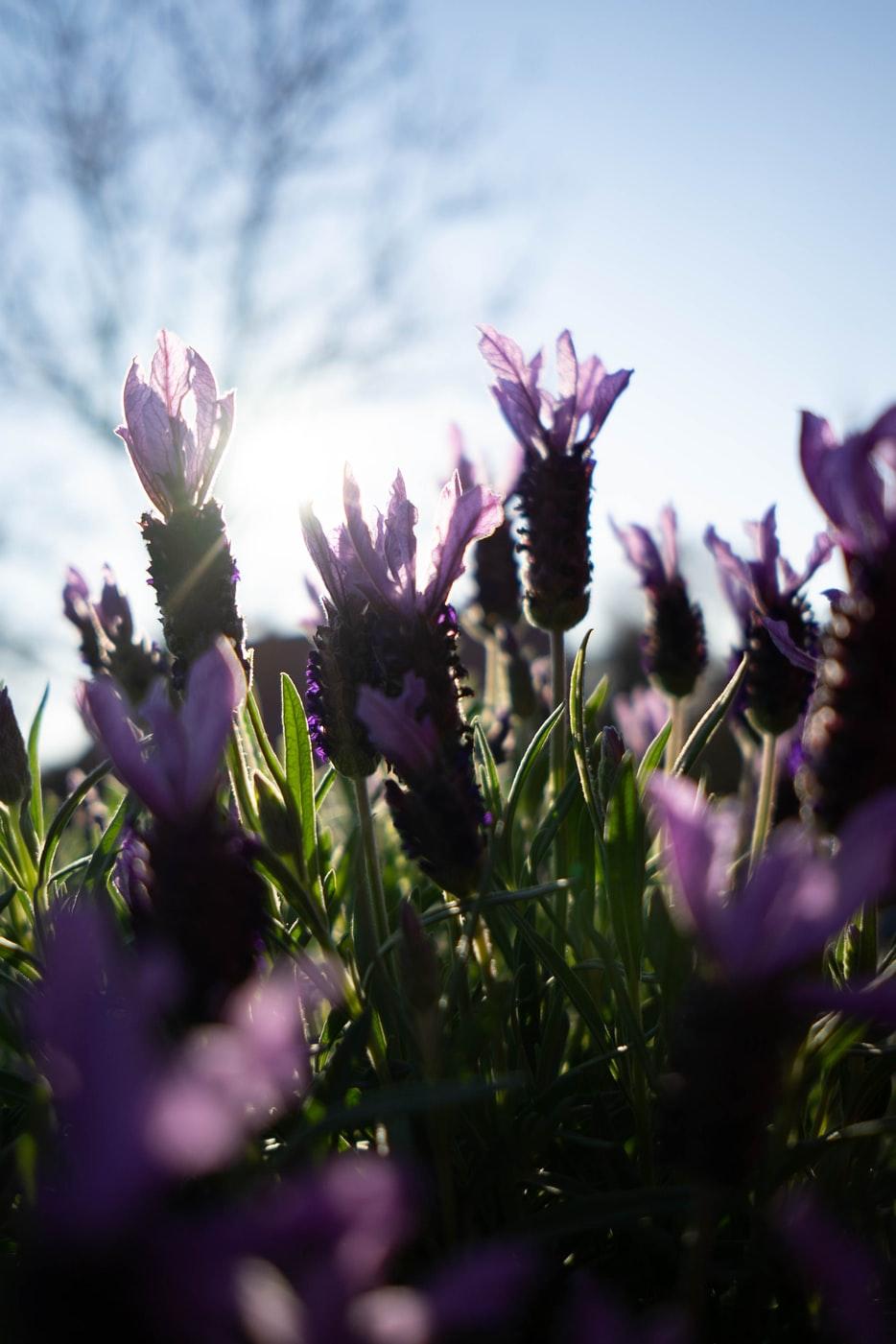Lavendel schneiden (7 Tipps für Profis)