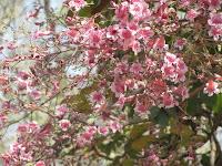 https://lh5.googleusercontent.com/-GzLMepdFgrw/T2_yNlxf1uI/AAAAAAAAACo/7CSK0WHRfck/s1600/Pink+Jacaranda+Tree+-+0000.jpg