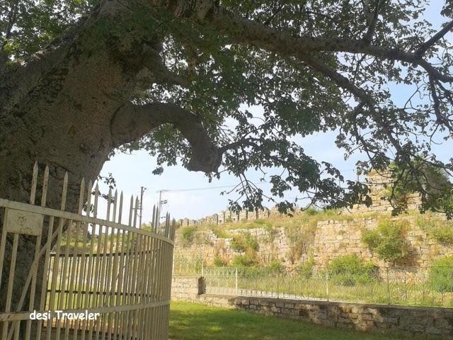 Baobab Tree Naya Qila Golconda