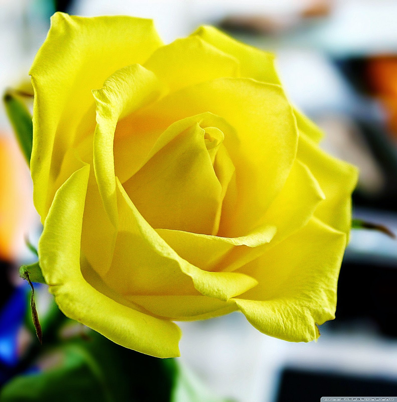 Yellow rose wallpaper cool hd wallpapers - Yellow rose images hd ...