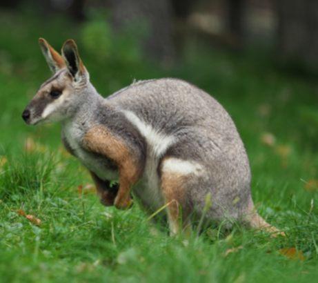 animales australianos