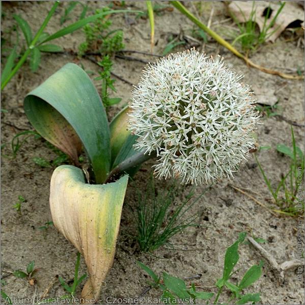 Allium karataviense habit - Czosnek karatawski pokrój