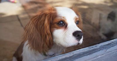 Reacção de um cão ao ficar sozinho em casa quando o dono sai