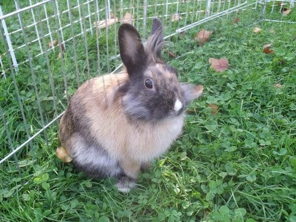 [adoptée]-Nala, lapine noire et marron, avec le bout du nez blanc Nala2-30b42