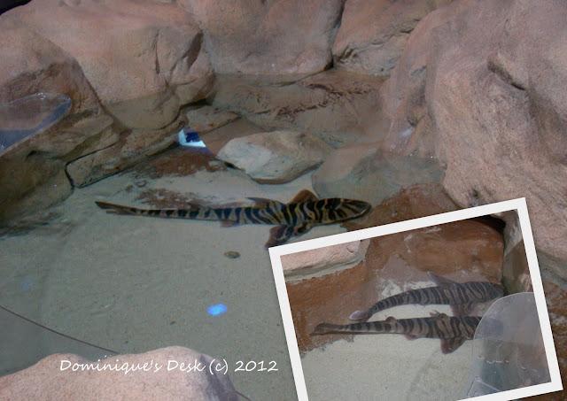 Zebra Horn Shark