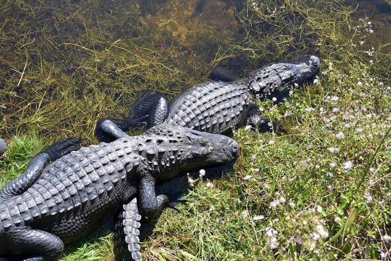 Аллигаторы в заповеднике Биг-Сайпресс, Флорида (Big Cypress National Preserve, FL)
