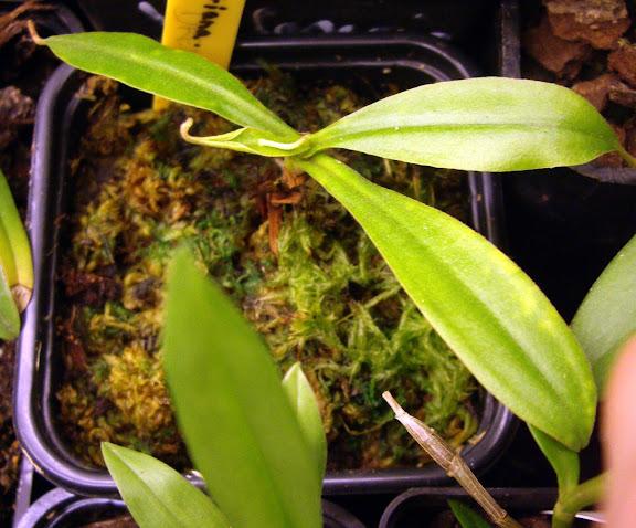 photos de mes orchidées en fleur - Page 2 IMGP4845