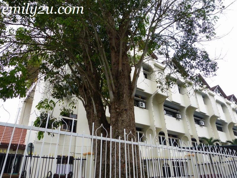 old rubber tree Kuala Kangsar