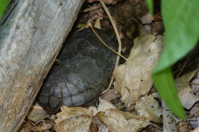 turtle under a log