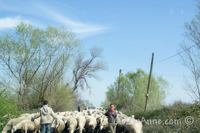 koyunlarını otlatan çocuklar