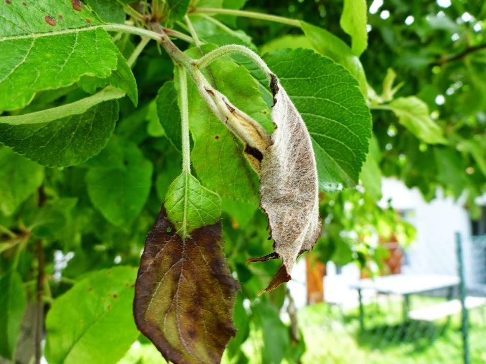 maladie pommier feuilles molles et noires au jardin