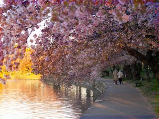https://lh5.googleusercontent.com/-HLnHK-dBb4M/TX2WoIeDdUI/AAAAAAAAA1U/K-NmZeg99AM/s1600/Cherry-Blossoms.jpg