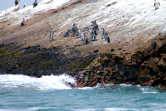 Humboldt Penguins at non-nesting colony