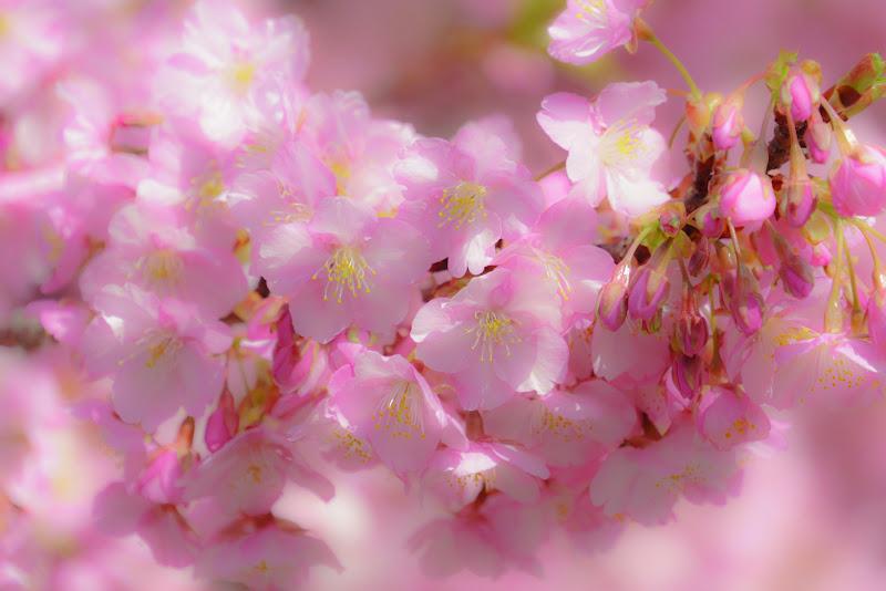 河津桜まつり⑦