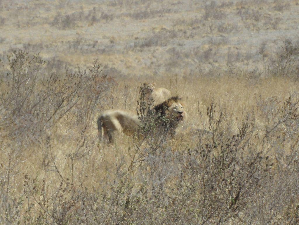Aslanlar Ngorongoro'da yemekte