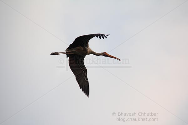 Painted stork enjoying a flight