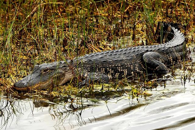 """Lời răn dạy từ cá sấu: """"Nếu không thể nhanh nhẹn, hãy đón đầu con mồi"""""""