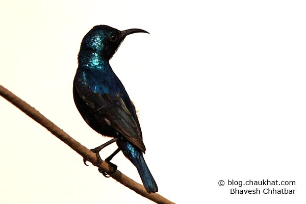 Extremely beautiful male Purple Sunbird [Cinnyris asiaticus] shimmering its dhoop-chhaon colors