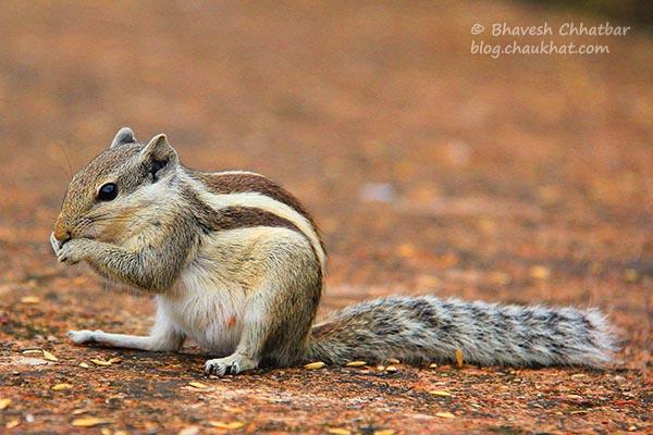 Funambulus pennantii / Northern palm squirrel / Five-striped palm squirrel