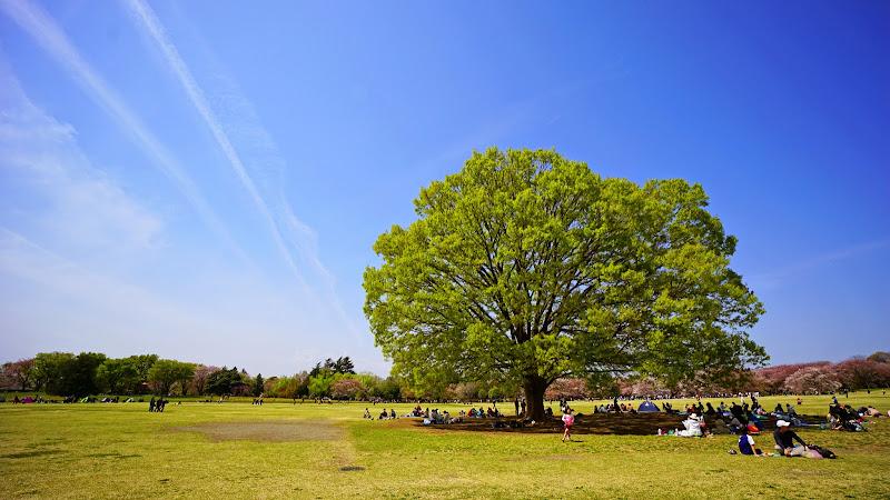 昭和記念公園 桜 写真9