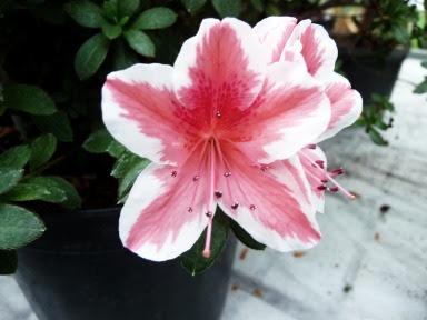 Różanecznik indyjski Rhododendron simsii