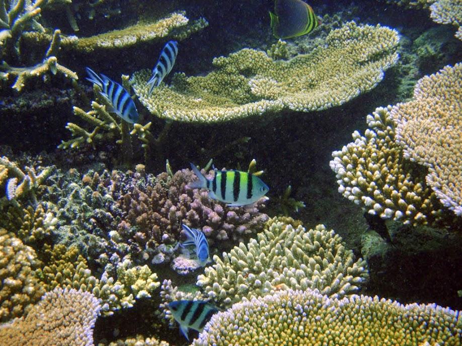 Coral Reef, Naigani Island, Fiji.