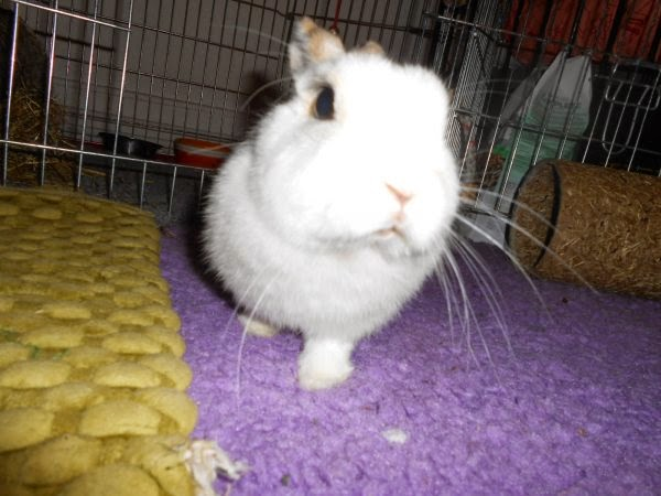 Mirana, lapine blanche-[adoptée] Mirana6-52a6c