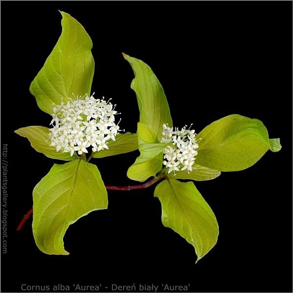 Cornus alba 'Aurea' - Dereń biały młode przyrosty