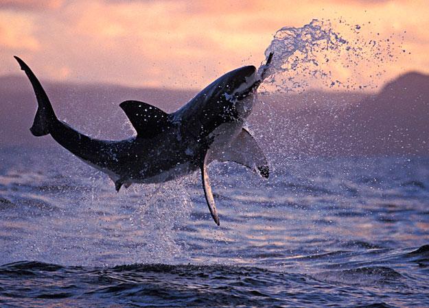 shark attaque