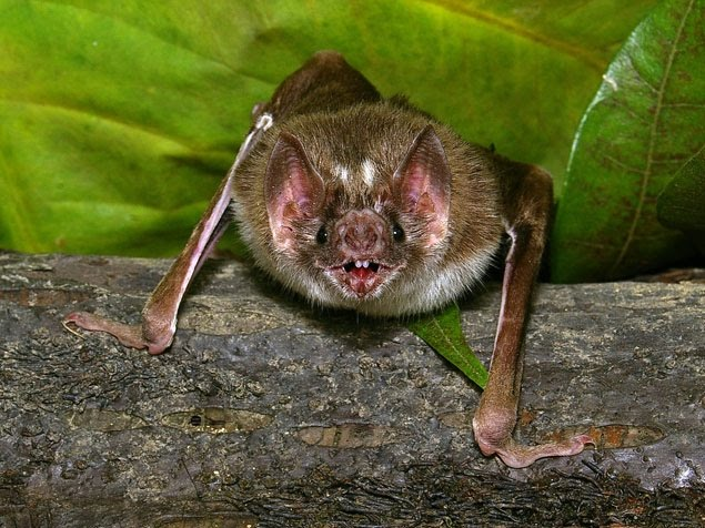 Health Tips: Bat flu could pose risk to humans Evidence of virus proving not all animal flu had been discovered