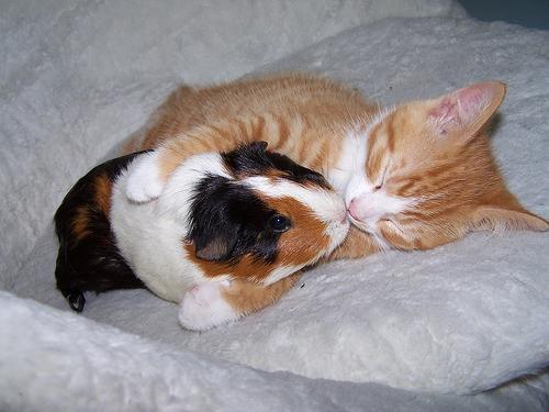 Foto met een kat en een cavia