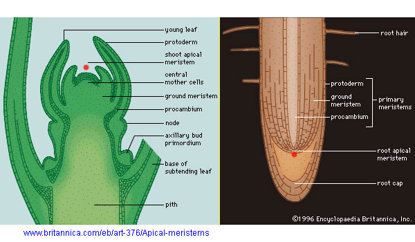 what is meristematic tissue in plants