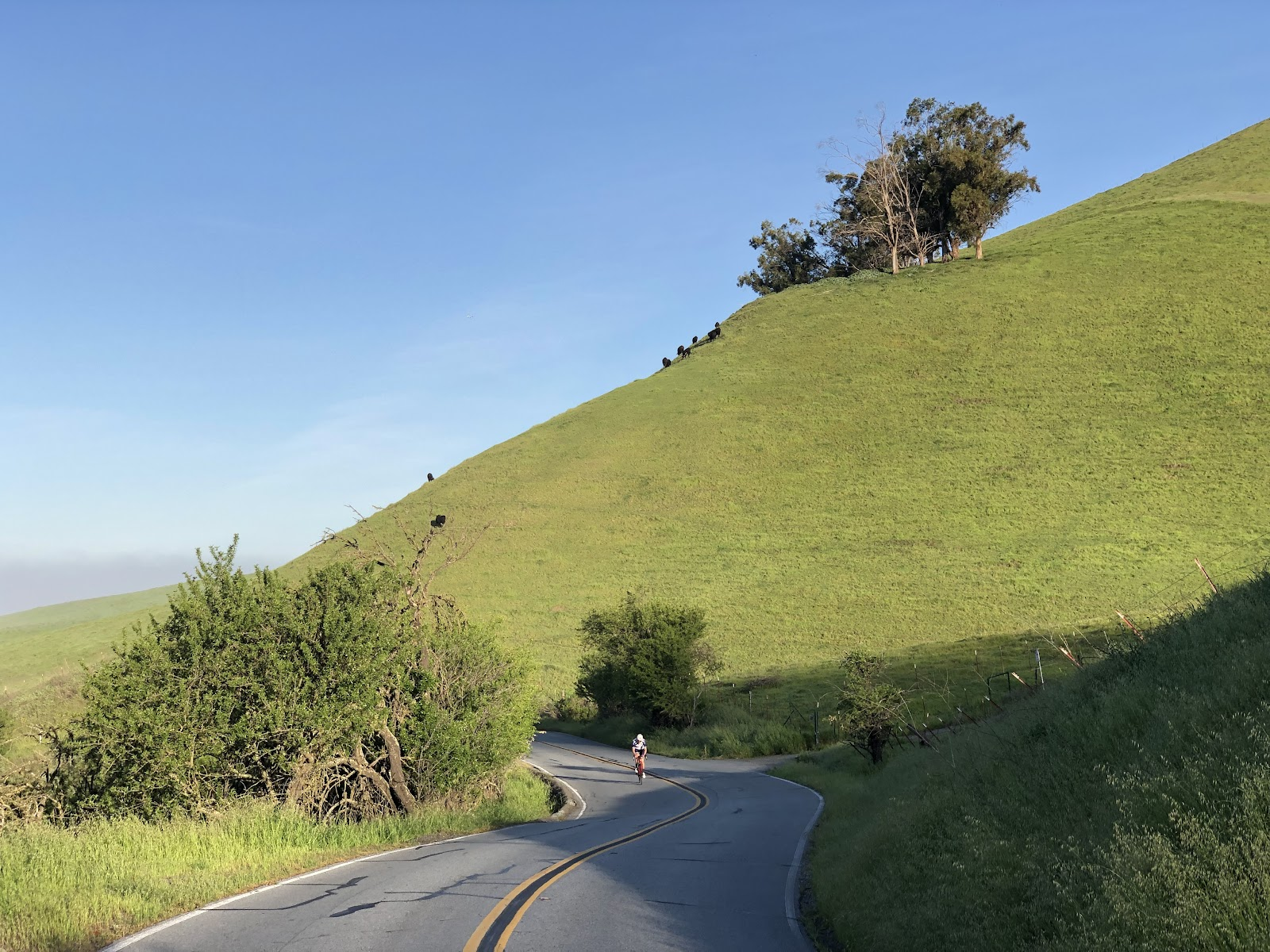 Bike climb Mt. Hamilton  - cycling on bike riding on road with hillside and grazing cows in background.