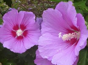 夏の花「ムクゲ」が満開