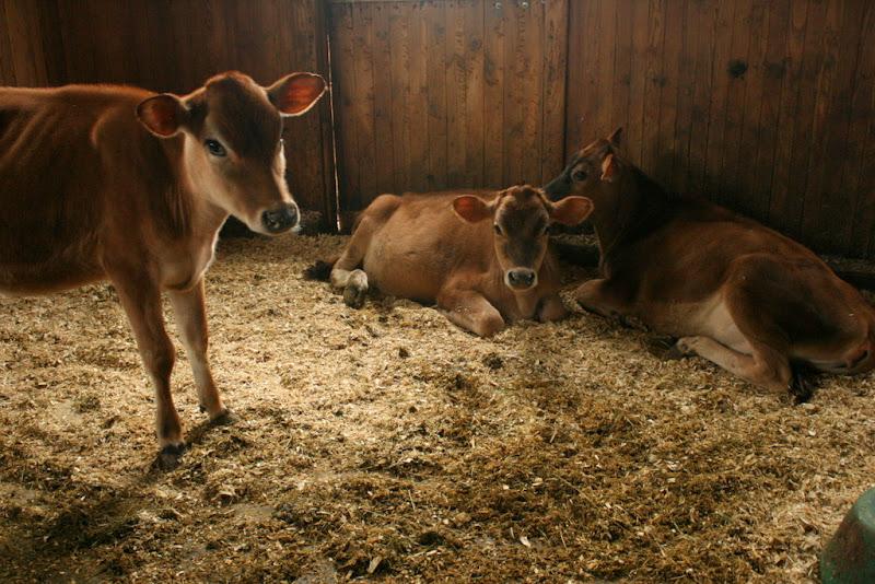 Jersey Calves, Hillside Farms Shavertown PA