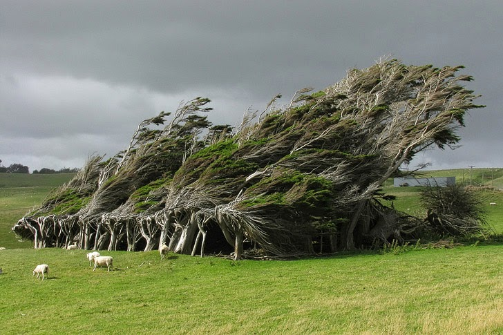 Wind Swept Trees in Slope Point New Zealand (11 Fascinating and Unique Trees to Put On Your Bucket List).