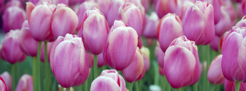 Pink tulips facebook cover