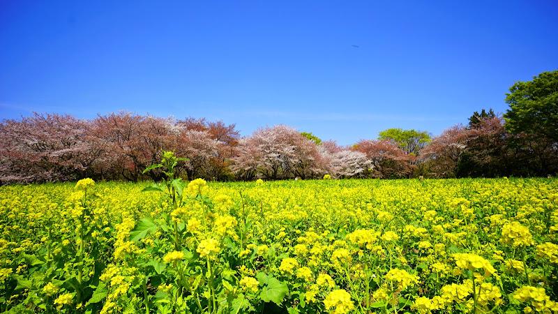 昭和記念公園 桜 写真17