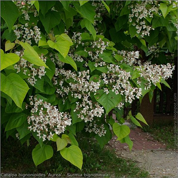 Catalpa bignonioides 'Aurea' flower and leafs - Surmia bignoniowa kwiaty i liście