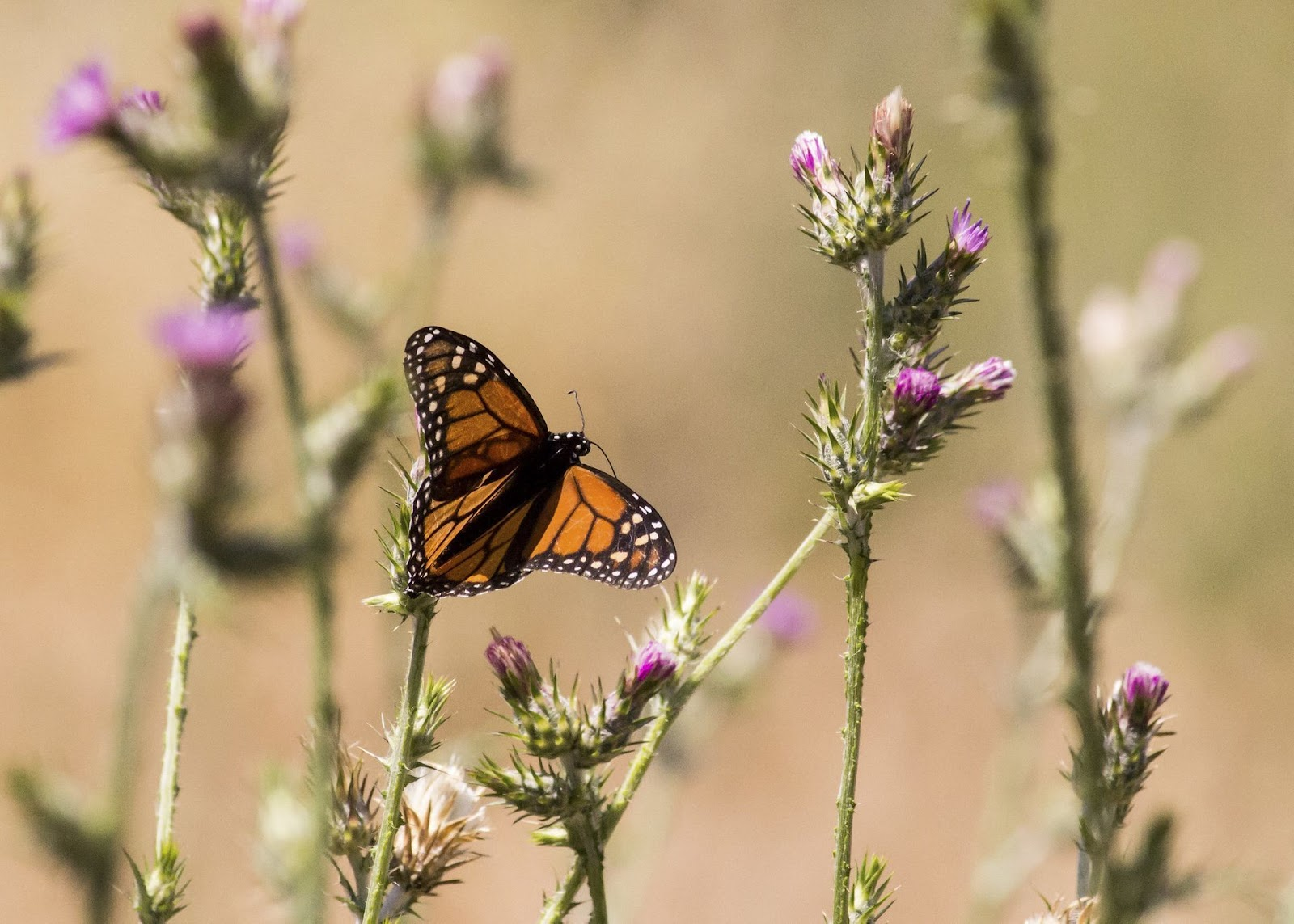 Monarch butterfly in California.