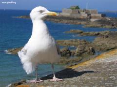 Gabbiano a Saint Malo, Bretagna, Francia