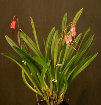 Растения из Тюмени. Краткий обзор - Страница 3 Dracula%25252520sodiroi