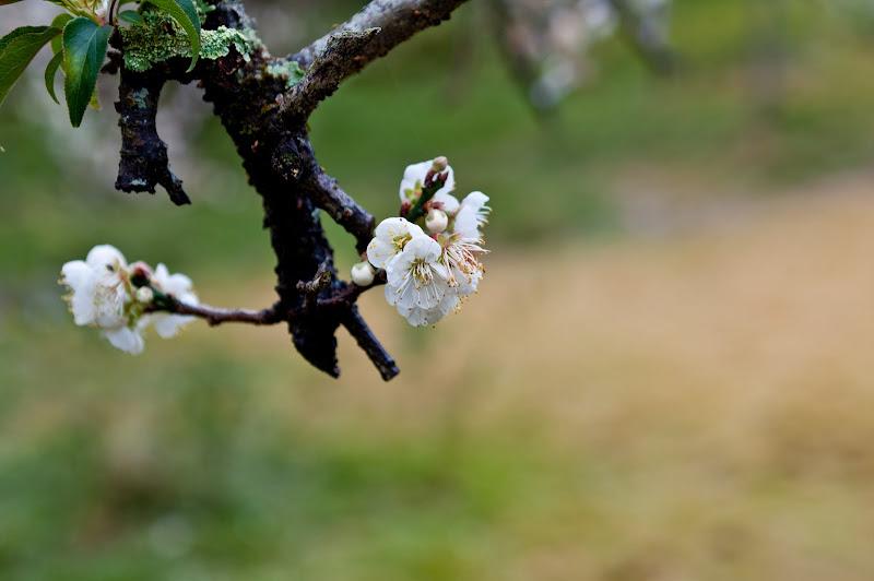 柳家梅園-梅花盛開時
