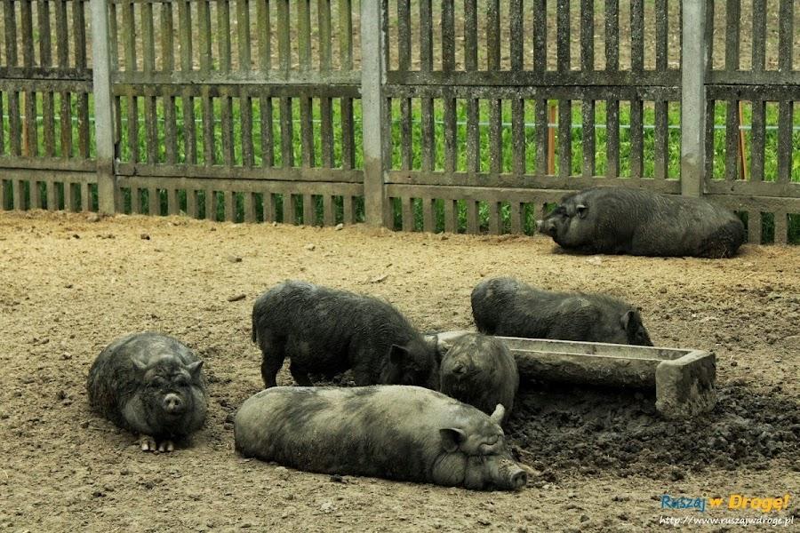 Pałac w Kurozwękach mini zoo - świnki wietnamskie