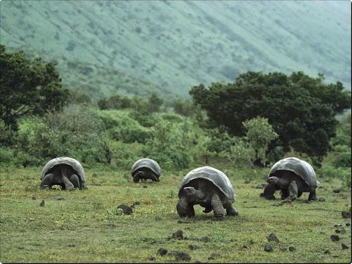 Giant Galapagos Tortoises, Isabela Island, Galapagos.jpg
