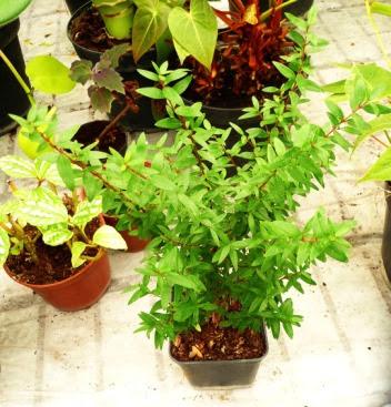 Mirt pospolity Myrtus communis młoda roślina