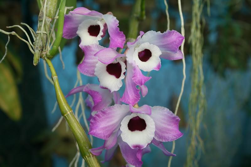 Dendrobium nobile IMG_3205