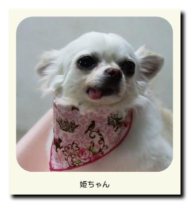 チワワの姫ちゃん